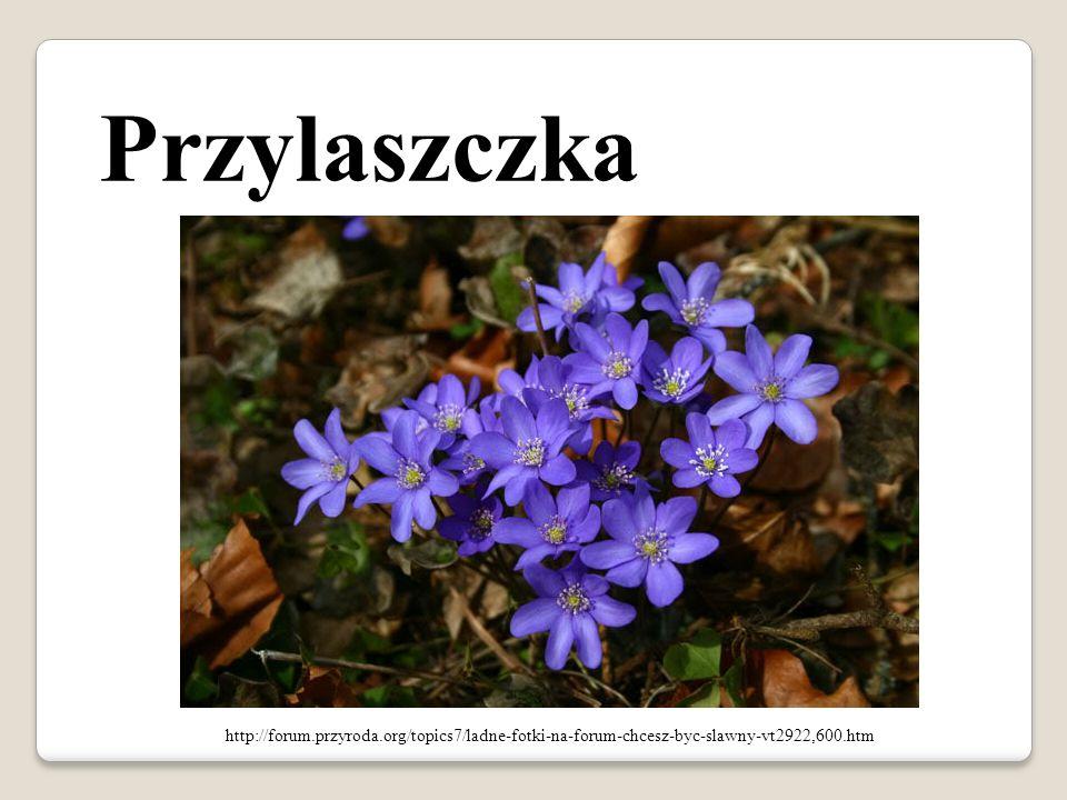 Przylaszczka http://forum.przyroda.org/topics7/ladne-fotki-na-forum-chcesz-byc-slawny-vt2922,600.htm