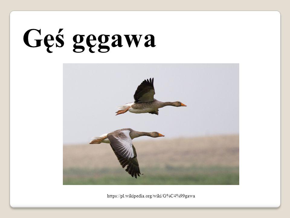 Gęś gęgawa https://pl.wikipedia.org/wiki/G%C4%99gawa