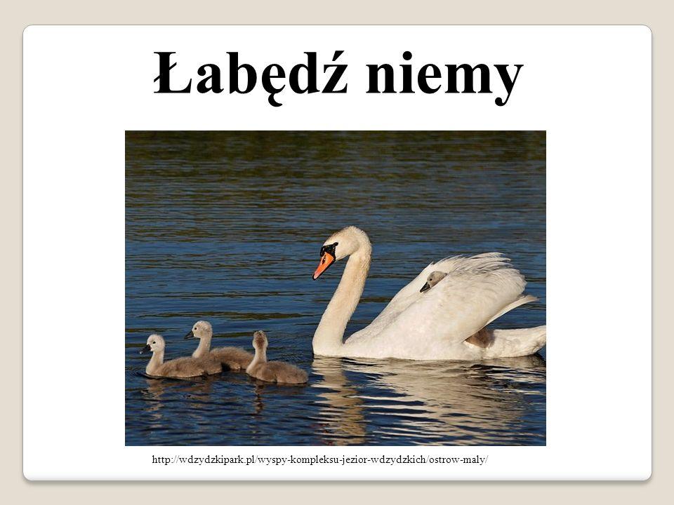 Łabędź niemy http://wdzydzkipark.pl/wyspy-kompleksu-jezior-wdzydzkich/ostrow-maly/