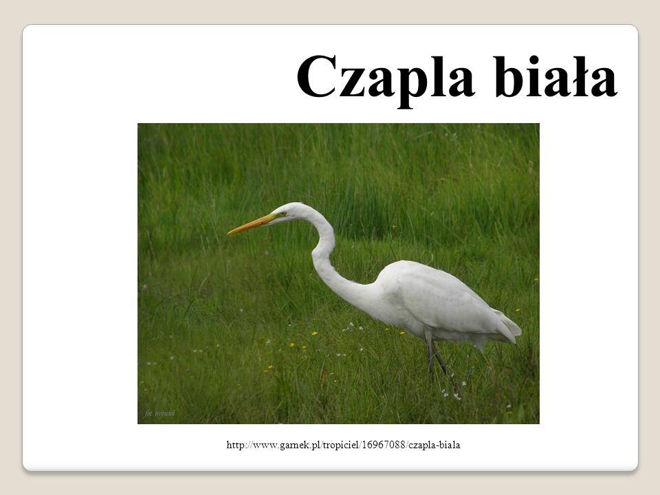 Czapla biała http://www.garnek.pl/tropiciel/16967088/czapla-biala