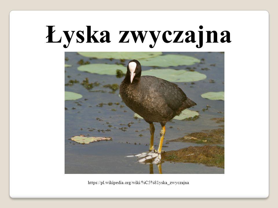 Łyska zwyczajna https://pl.wikipedia.org/wiki/%C5%81yska_zwyczajna