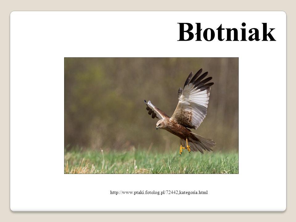 Błotniak http://www.ptaki.fotolog.pl/72442,kategoria.html