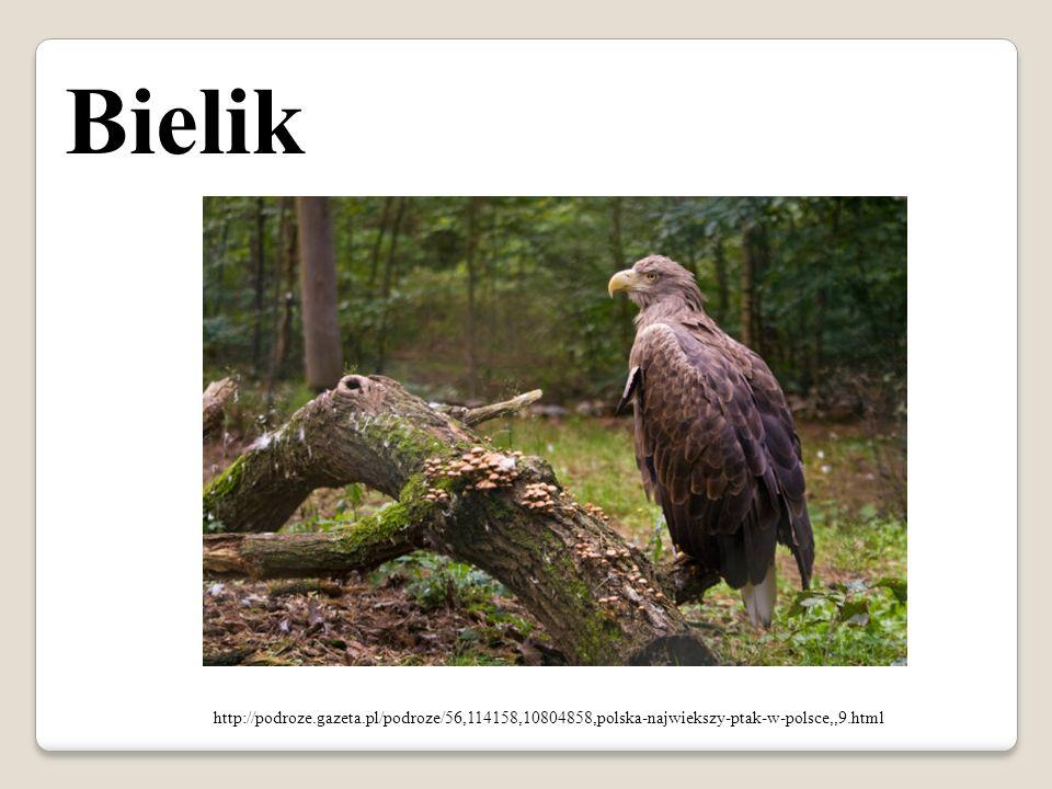 http://podroze.gazeta.pl/podroze/56,114158,10804858,polska-najwiekszy-ptak-w-polsce,,9.html Bielik