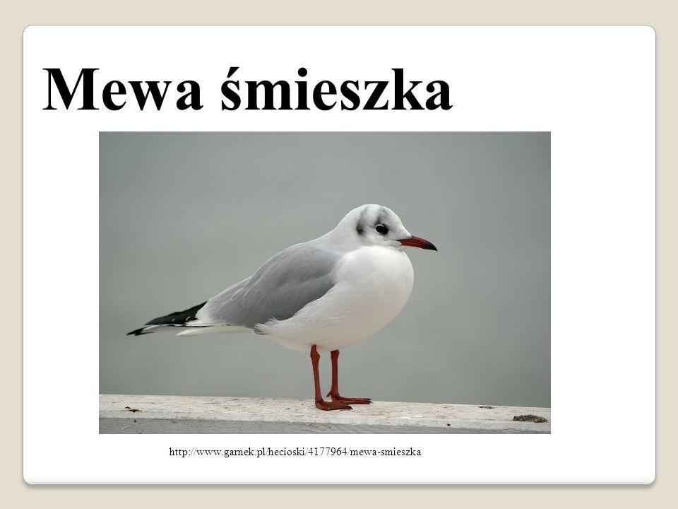 http://www.garnek.pl/hecioski/4177964/mewa-smieszka Mewa śmieszka