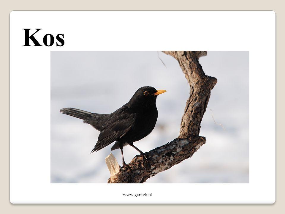 Kos www.garnek.pl