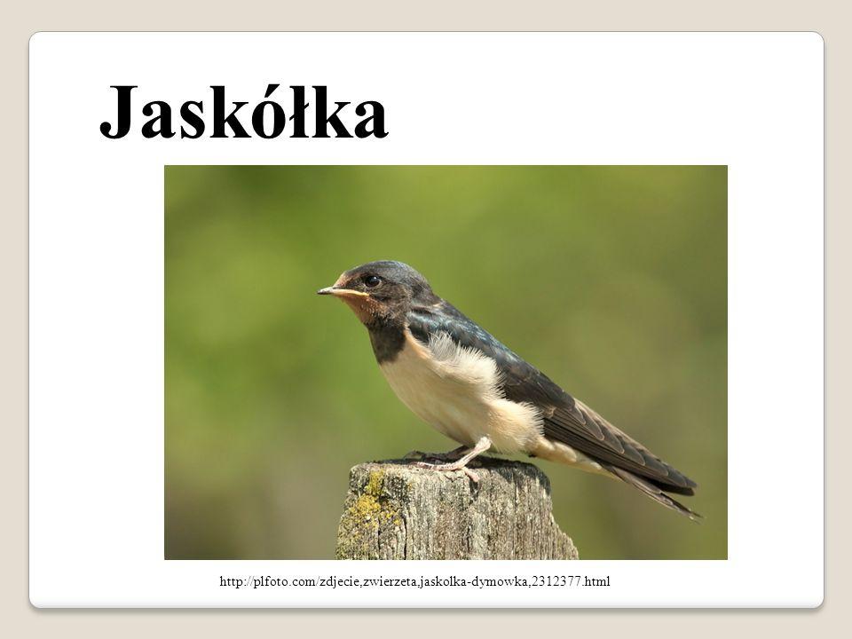 Jaskółka http://plfoto.com/zdjecie,zwierzeta,jaskolka-dymowka,2312377.html