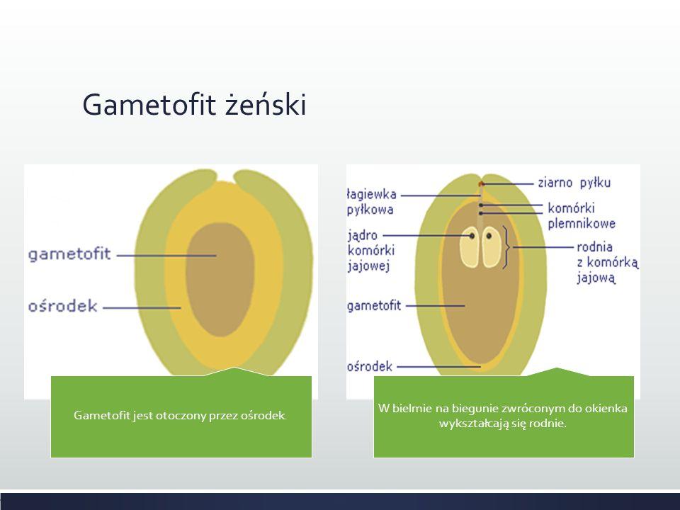 Gametofit żeński Gametofit jest otoczony przez ośrodek. W bielmie na biegunie zwróconym do okienka wykształcają się rodnie.