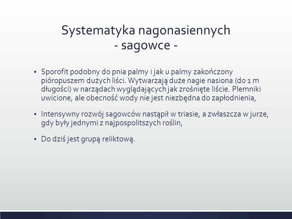 Systematyka nagonasiennych - sagowce -  Sporofit podobny do pnia palmy i jak u palmy zakończony pióropuszem dużych liści. Wytwarzają duże nagie nasio
