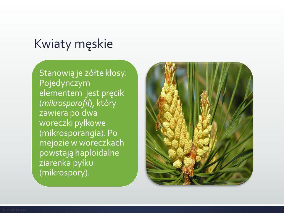 Kwiaty męskie Stanowią je żółte kłosy. Pojedynczym elementem jest pręcik (mikrosporofil), który zawiera po dwa woreczki pyłkowe (mikrosporangia). Po m