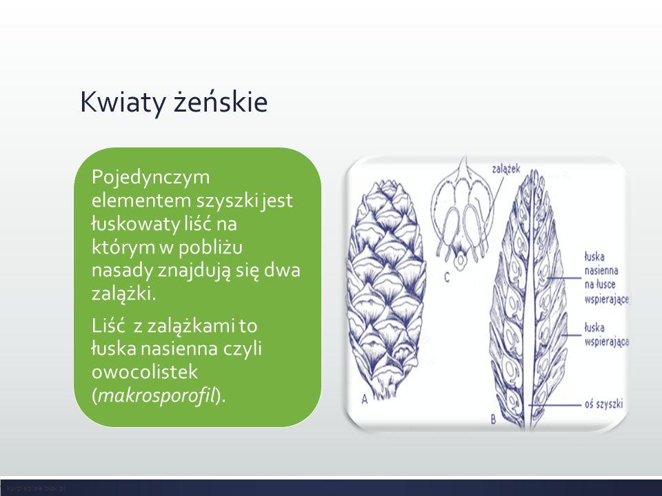 Kwiaty żeńskie Pojedynczym elementem szyszki jest łuskowaty liść na którym w pobliżu nasady znajdują się dwa zalążki. Liść z zalążkami to łuska nasien