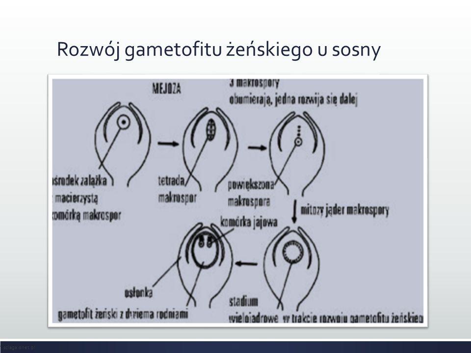 Rozwój gametofitu żeńskiego u sosny sciaga.onet.pl
