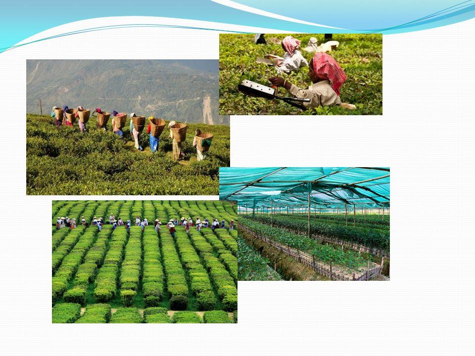 W 1834 roku William Bentinck zainicjował uprawę herbaty w Indiach, co doprowadziło do utraty przez Chiny pozycji monopolistycznej w tej dziedzinie.