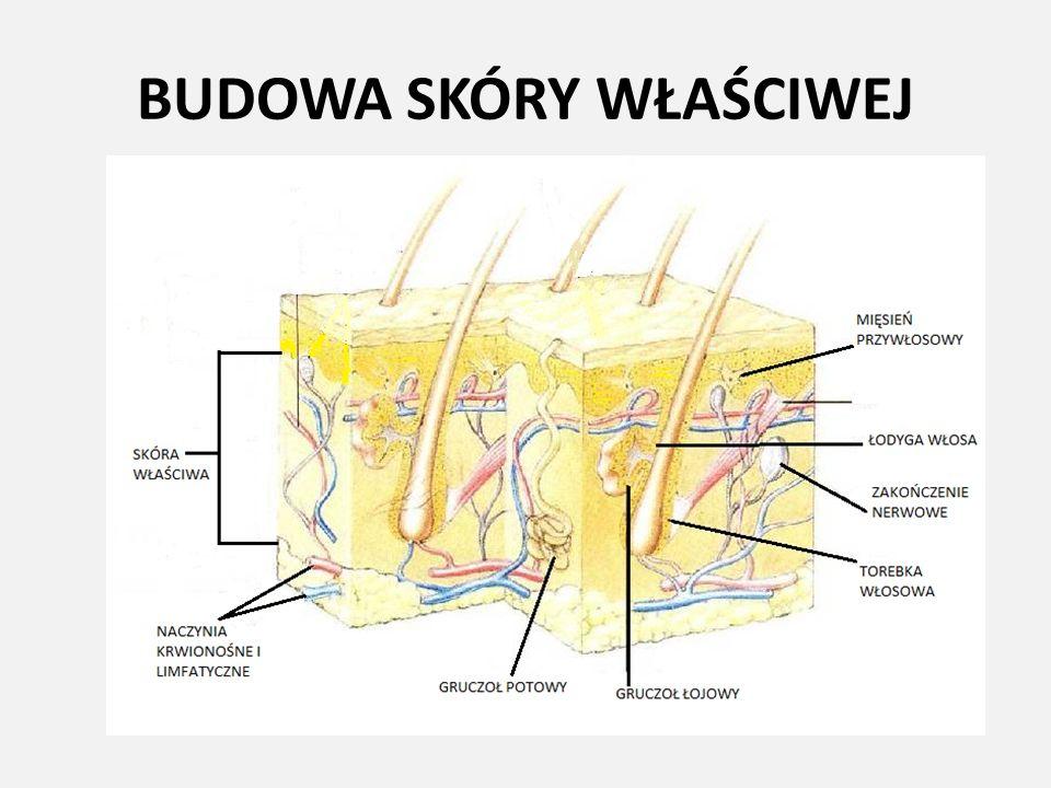 TKANKA PODSKÓRNA Zbudowana jest przede wszystkim z komórek tłuszczowych różnej wielkości zgrupowanych w tzw.