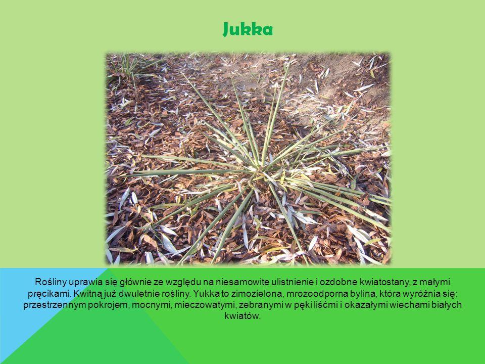 Jukka Rośliny uprawia się głównie ze względu na niesamowite ulistnienie i ozdobne kwiatostany, z małymi pręcikami. Kwitną już dwuletnie rośliny. Yukka
