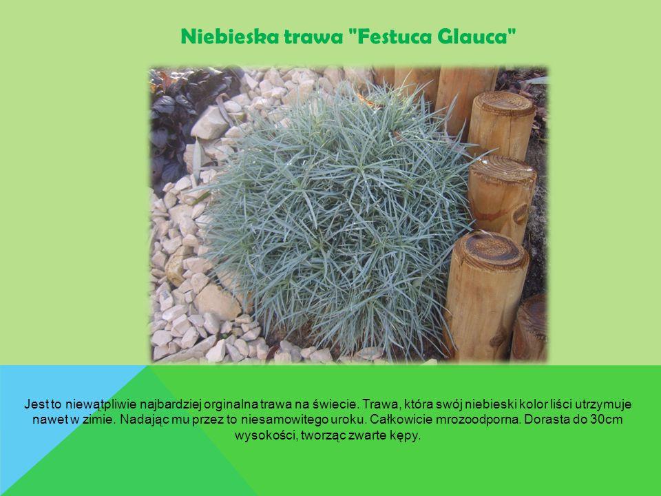 Jest to niewątpliwie najbardziej orginalna trawa na świecie. Trawa, która swój niebieski kolor liści utrzymuje nawet w zimie. Nadając mu przez to nies