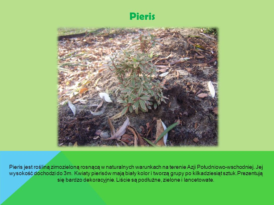 Pieris Pieris jest rośliną zimozieloną rosnącą w naturalnych warunkach na terenie Azji Południowo-wschodniej. Jej wysokość dochodzi do 3m. Kwiaty pier