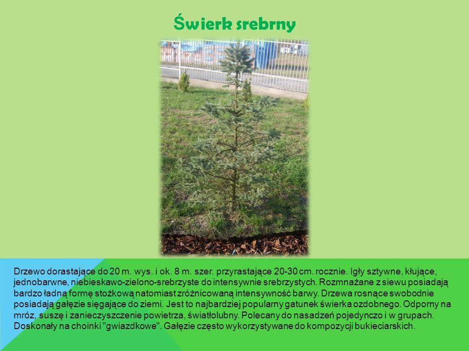 Ś wierk srebrny Drzewo dorastające do 20 m. wys. i ok. 8 m. szer. przyrastające 20-30 cm. rocznie. Igły sztywne, kłujące, jednobarwne, niebieskawo-zie