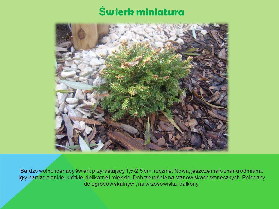 Ś wierk miniatura Bardzo wolno rosnący świerk przyrastający 1,5-2,5 cm. rocznie. Nowa, jeszcze mało znana odmiana. Igły bardzo cienkie, krótkie, delik