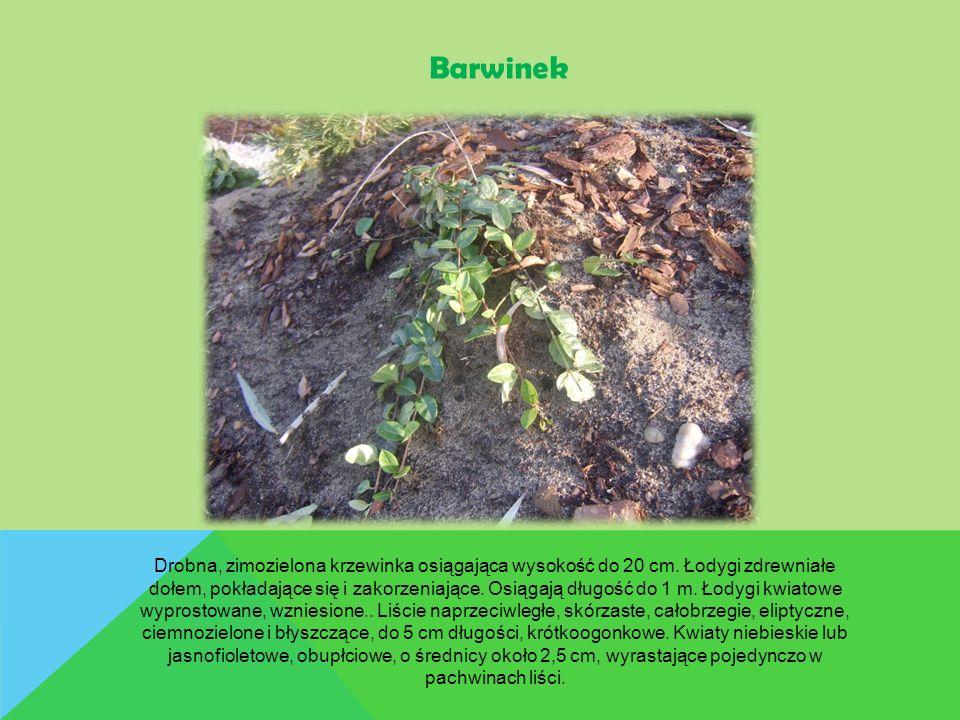 Barwinek Drobna, zimozielona krzewinka osiągająca wysokość do 20 cm. Łodygi zdrewniałe dołem, pokładające się i zakorzeniające. Osiągają długość do 1