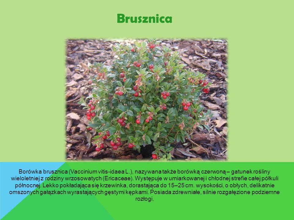 Brusznica Borówka brusznica (Vaccinium vitis-idaea L.), nazywana także borówką czerwoną – gatunek rośliny wieloletniej z rodziny wrzosowatych (Ericace