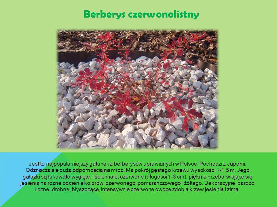 Jest to najpopularniejszy gatunek z berberysów uprawianych w Polsce. Pochodzi z Japonii. Odznacza się dużą odpornością na mróz. Ma pokrój gęstego krze