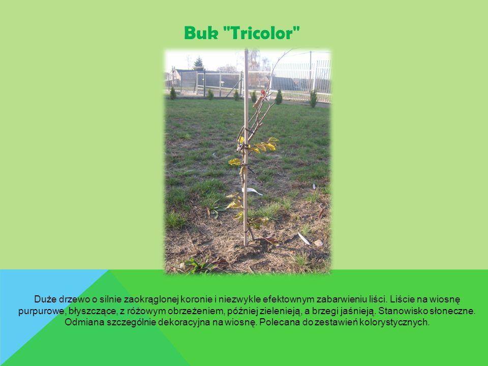 Buk Tricolor Duże drzewo o silnie zaokrąglonej koronie i niezwykle efektownym zabarwieniu liści.