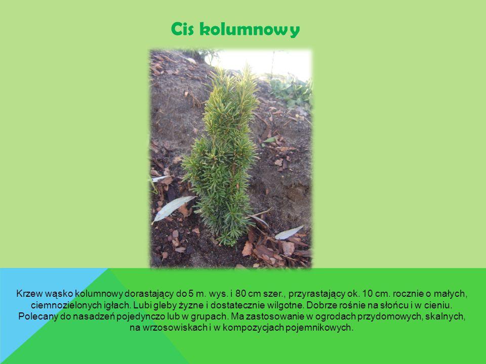 Cis kolumnowy Krzew wąsko kolumnowy dorastający do 5 m. wys. i 80 cm szer., przyrastający ok. 10 cm. rocznie o małych, ciemnozielonych igłach. Lubi gl