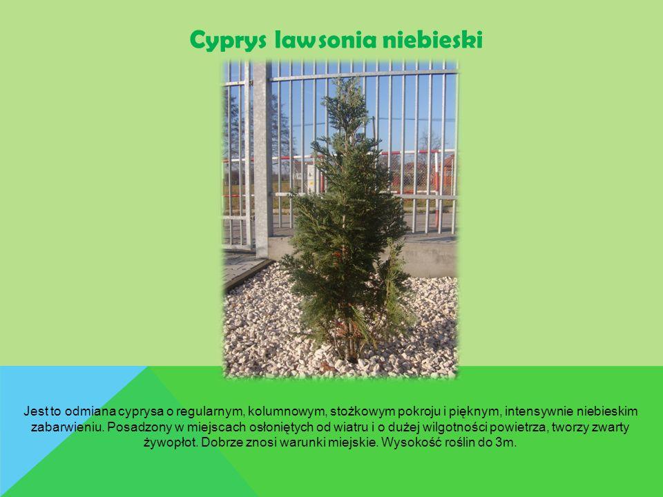 Cyprys lawsonia niebieski Jest to odmiana cyprysa o regularnym, kolumnowym, stożkowym pokroju i pięknym, intensywnie niebieskim zabarwieniu. Posadzony