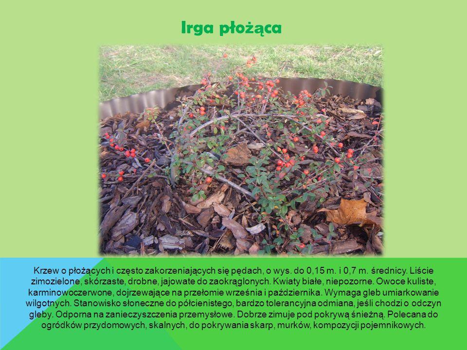 Krzew o płożących i często zakorzeniających się pędach, o wys. do 0,15 m. i 0,7 m. średnicy. Liście zimozielone, skórzaste, drobne, jajowate do zaokrą