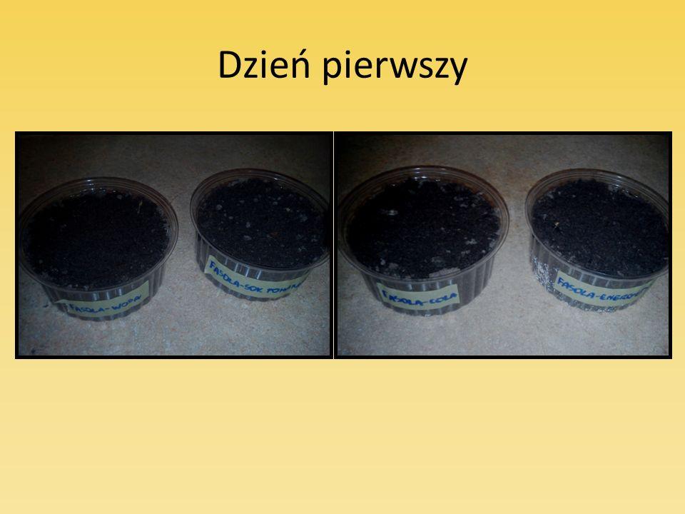 Ilość liści w każdej doniczce także była różna: Fasolka w wodzie miała około 20 dużych liści.