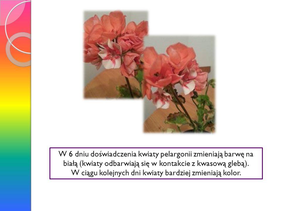 W 6 dniu doświadczenia kwiaty pelargonii zmieniają barwę na białą (kwiaty odbarwiają się w kontakcie z kwasową glebą). W ciągu kolejnych dni kwiaty ba