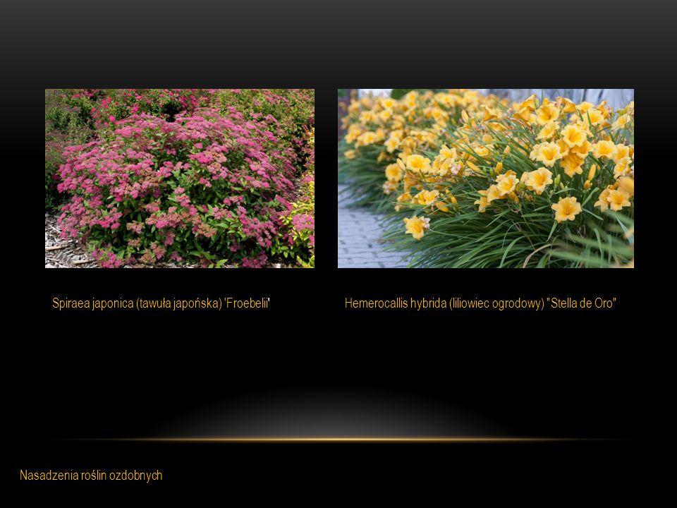 Hemerocallis hybrida (liliowiec ogrodowy)