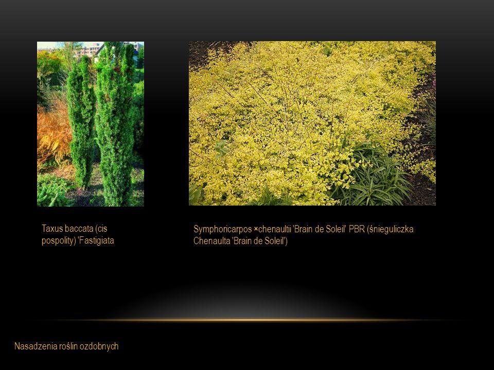 Taxus baccata (cis pospolity) 'Fastigiata Symphoricarpos ×chenaultii 'Brain de Soleil' PBR (śnieguliczka Chenaulta 'Brain de Soleil') Nasadzenia rośli