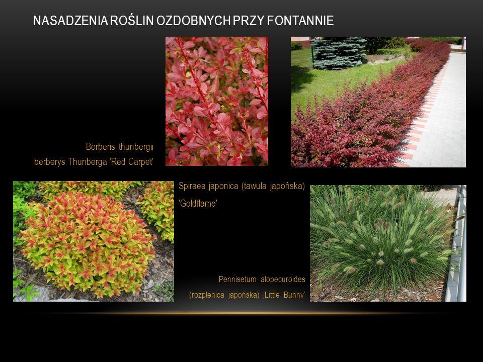 Berberis thunbergii berberys Thunberga 'Red Carpet' Spiraea japonica (tawuła japońska) 'Goldflame' Pennisetum alopecuroides (rozplenica japońska) 'Lit