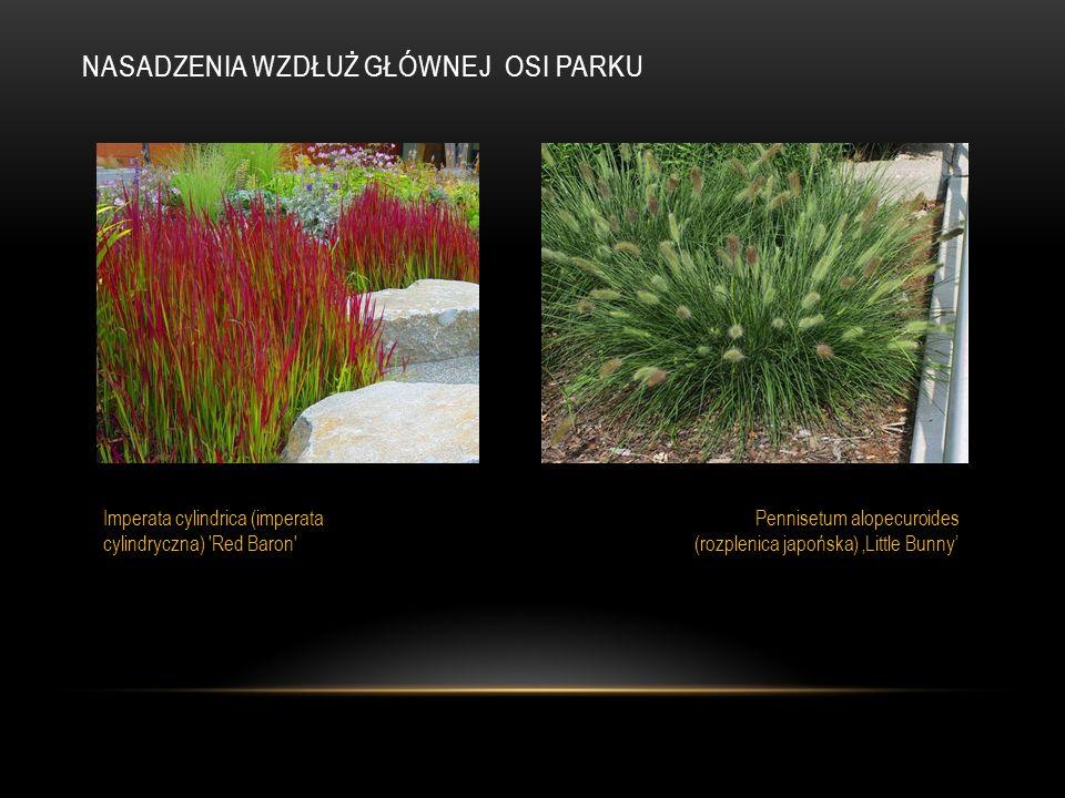 NASADZENIA WZDŁUŻ GŁÓWNEJ OSI PARKU Imperata cylindrica (imperata cylindryczna) 'Red Baron' Pennisetum alopecuroides (rozplenica japońska) 'Little Bun