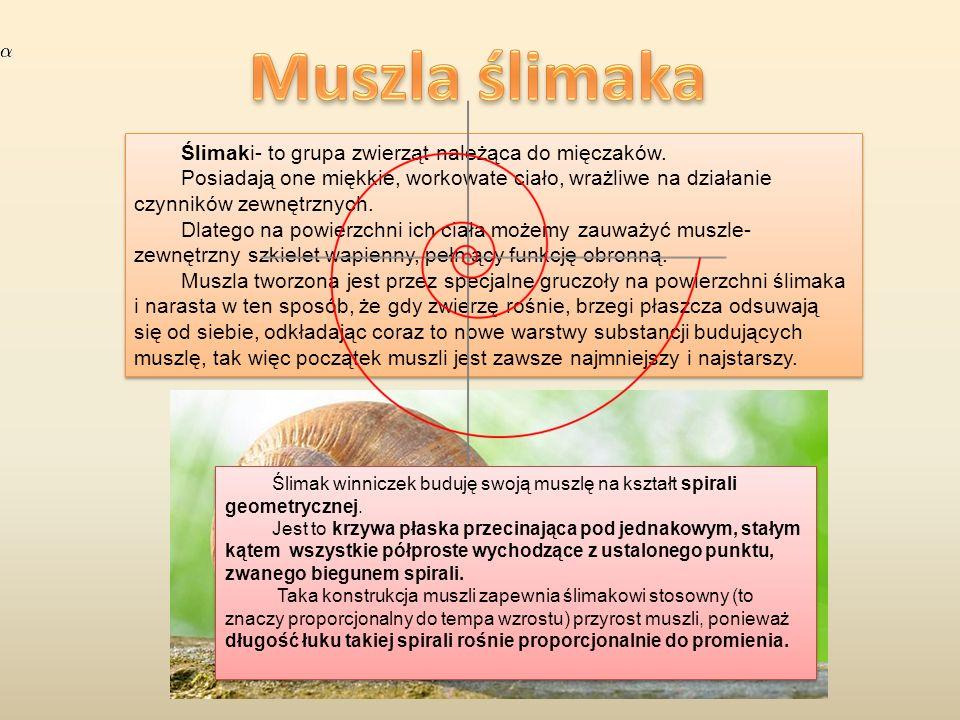 Ślimaki- to grupa zwierząt należąca do mięczaków. Posiadają one miękkie, workowate ciało, wrażliwe na działanie czynników zewnętrznych. Dlatego na pow