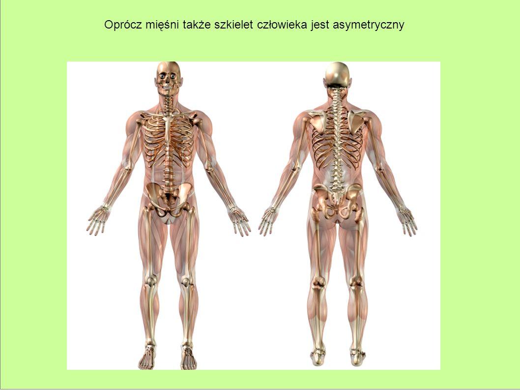 Oprócz mięśni także szkielet człowieka jest asymetryczny