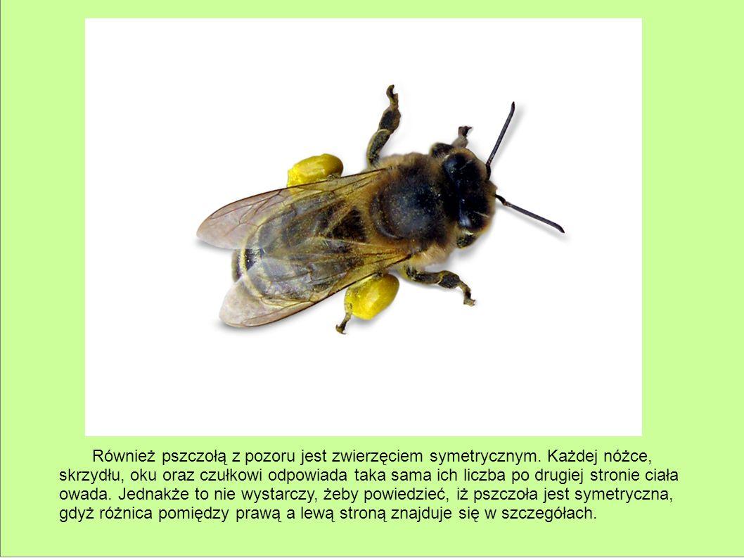Również pszczołą z pozoru jest zwierzęciem symetrycznym. Każdej nóżce, skrzydłu, oku oraz czułkowi odpowiada taka sama ich liczba po drugiej stronie c