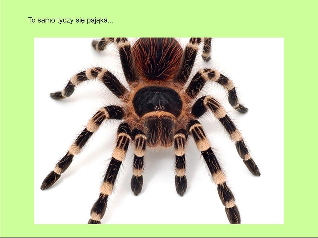 To samo tyczy się pająka...