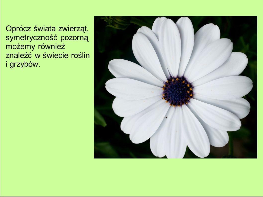 Oprócz świata zwierząt, symetryczność pozorną możemy również znaleźć w świecie roślin i grzybów.