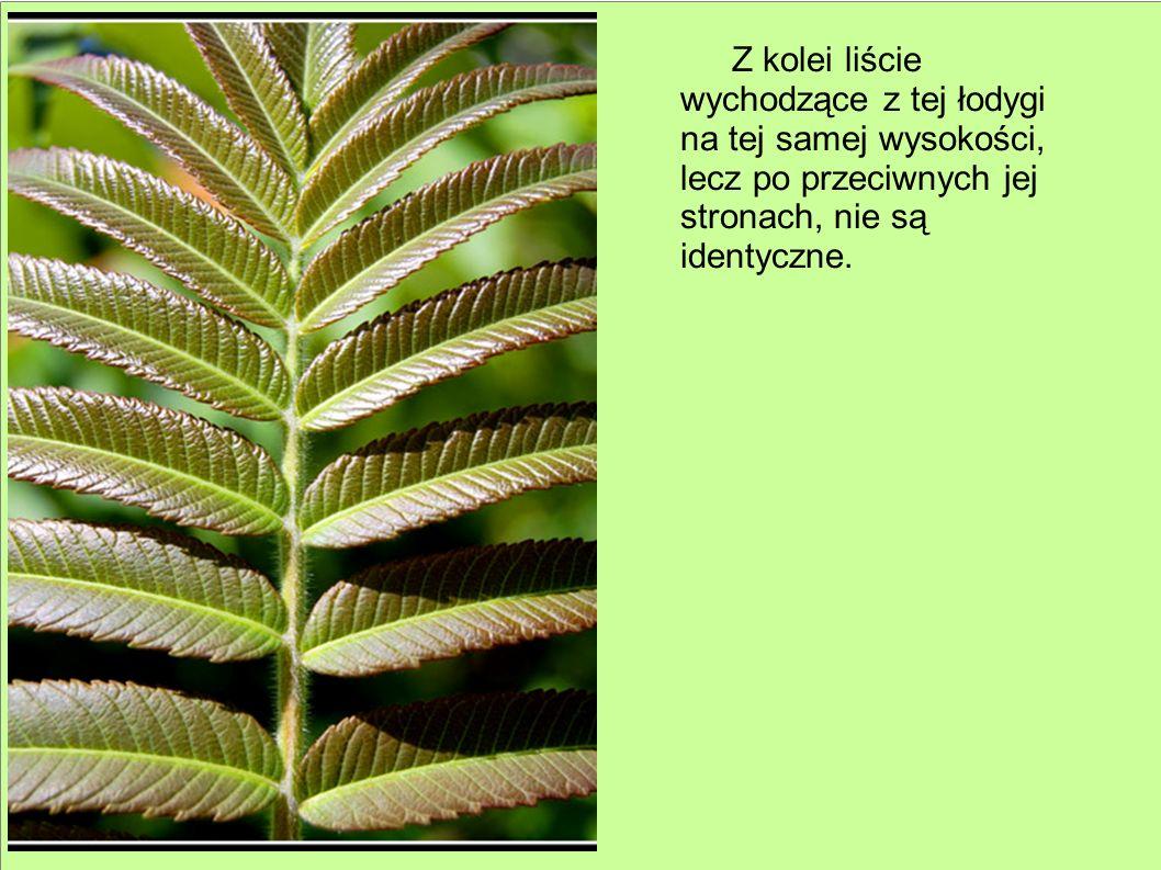 Z kolei liście wychodzące z tej łodygi na tej samej wysokości, lecz po przeciwnych jej stronach, nie są identyczne.