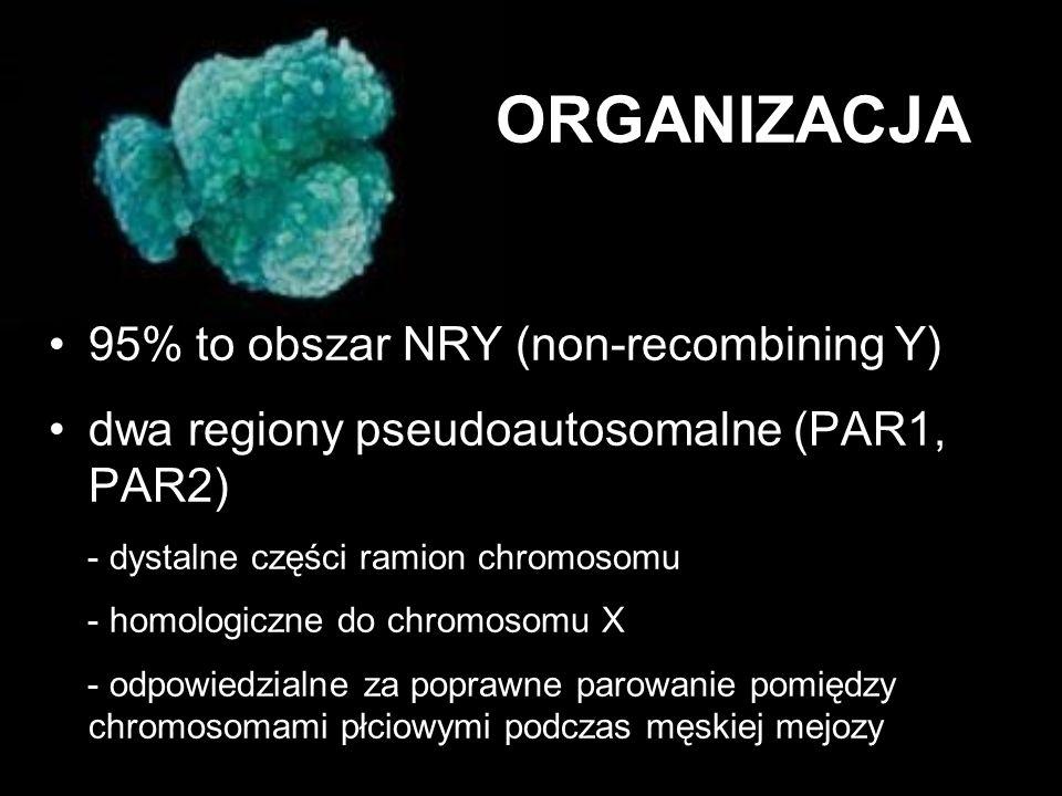 ORGANIZACJA 95% to obszar NRY (non-recombining Y) dwa regiony pseudoautosomalne (PAR1, PAR2) - dystalne części ramion chromosomu - homologiczne do chr
