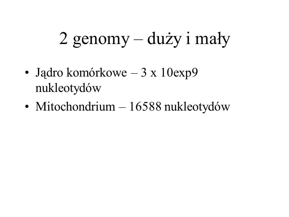 2 genomy – duży i mały Jądro komórkowe – 3 x 10exp9 nukleotydów Mitochondrium – 16588 nukleotydów