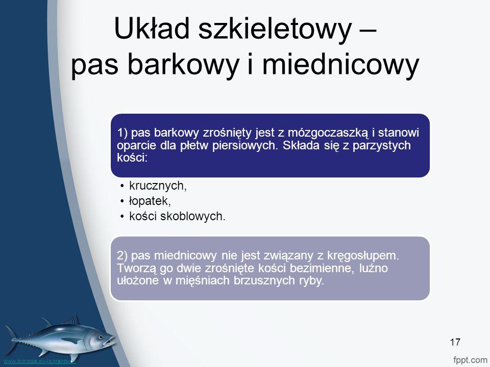Układ szkieletowy – pas barkowy i miednicowy 1) pas barkowy zrośnięty jest z mózgoczaszką i stanowi oparcie dla płetw piersiowych. Składa się z parzys