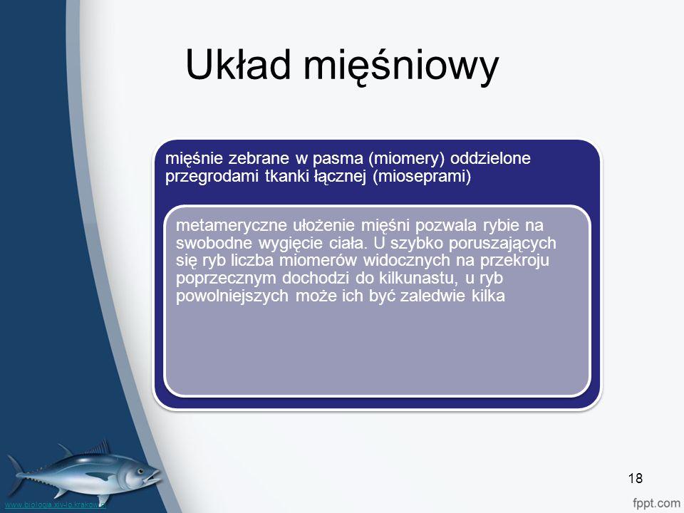 Układ mięśniowy mięśnie zebrane w pasma (miomery) oddzielone przegrodami tkanki łącznej (mioseprami) metameryczne ułożenie mięśni pozwala rybie na swobodne wygięcie ciała.