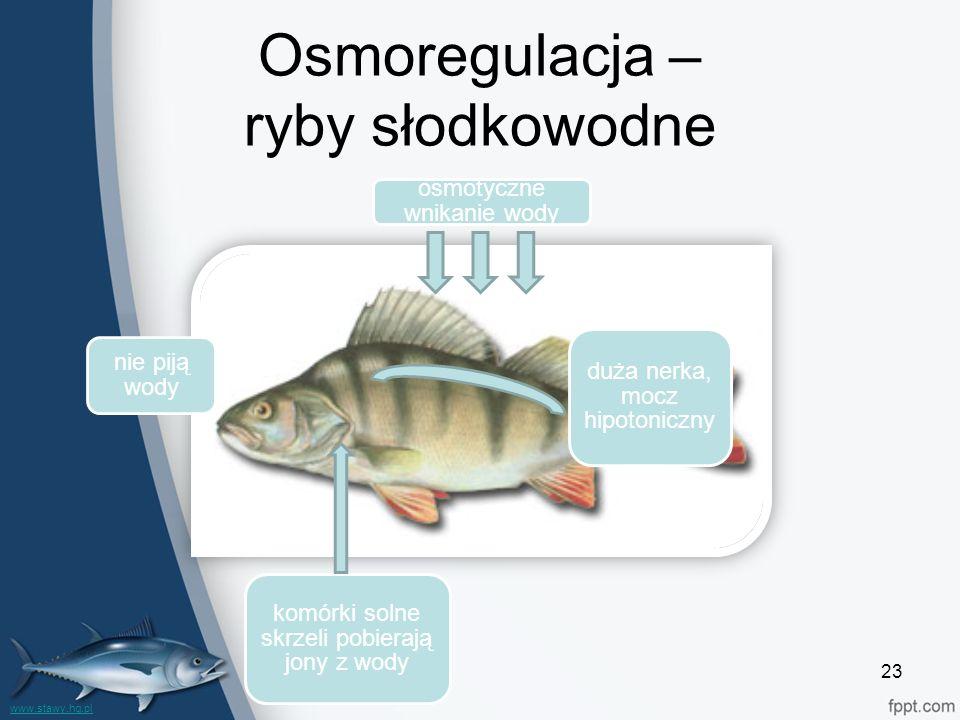Osmoregulacja – ryby słodkowodne 23 duża nerka, mocz hipotoniczny osmotyczne wnikanie wody komórki solne skrzeli pobierają jony z wody nie piją wody www.stawy.hg.pl
