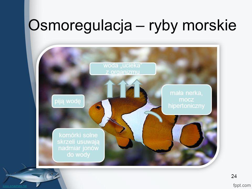 """24 Osmoregulacja – ryby morskie mała nerka, mocz hipertoniczny komórki solne skrzeli usuwają nadmiar jonów do wody woda """"ucieka"""" z organizmu piją wodę"""