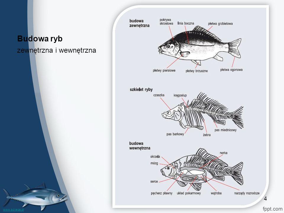 Budowa ryb zewnętrzna i wewnętrzna 4 www.sciaga.pl