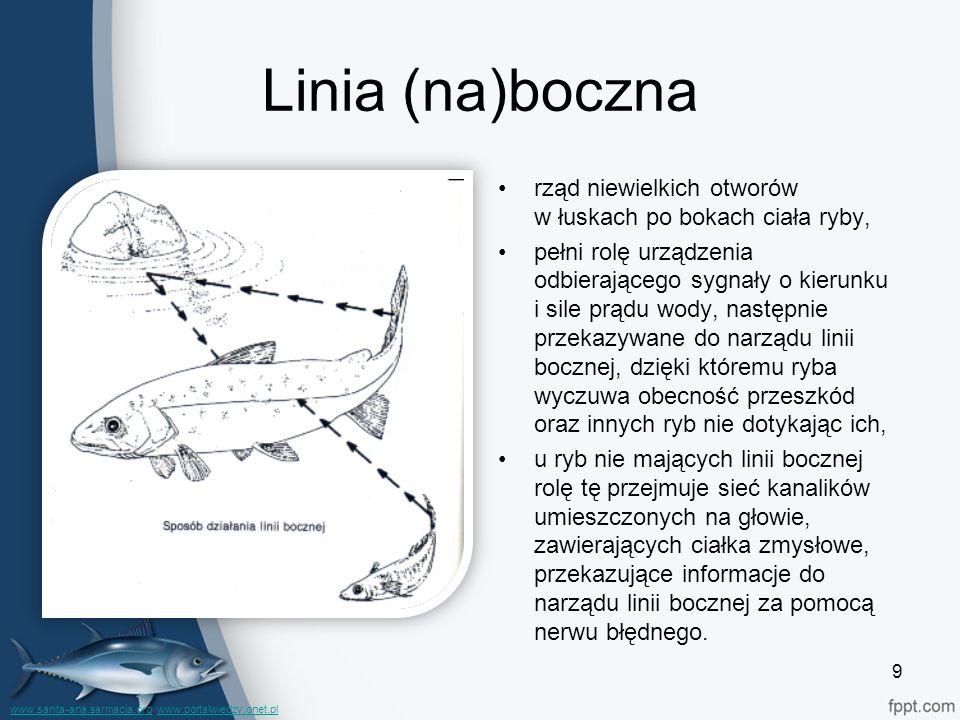 Linia (na)boczna rząd niewielkich otworów w łuskach po bokach ciała ryby, pełni rolę urządzenia odbierającego sygnały o kierunku i sile prądu wody, na