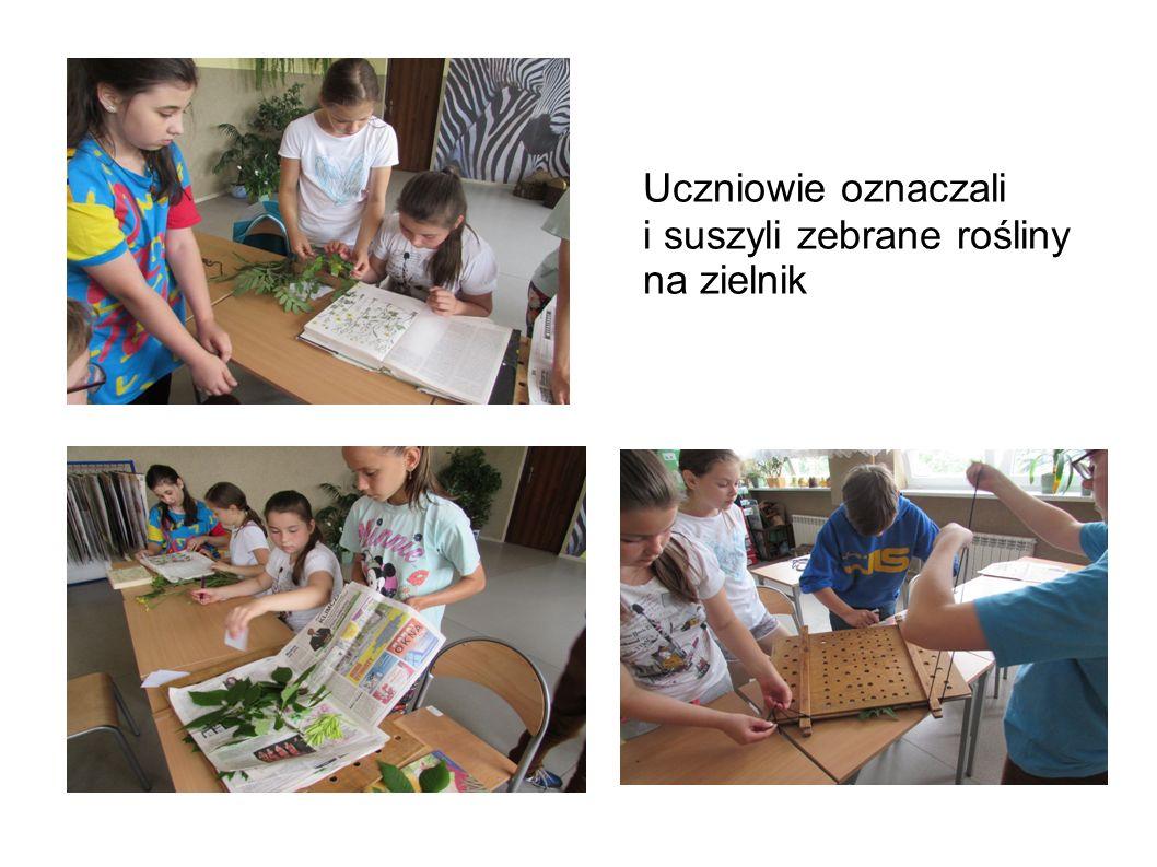 Uczniowie oznaczali i suszyli zebrane rośliny na zielnik